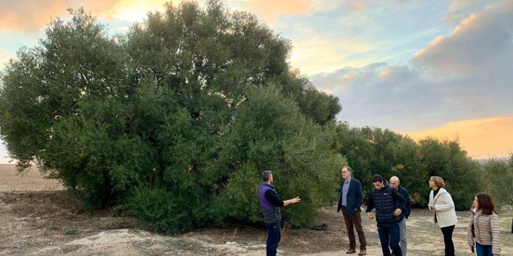 Visita a finca de olivar y almazara, Herriza de la Lobilla, Osuna